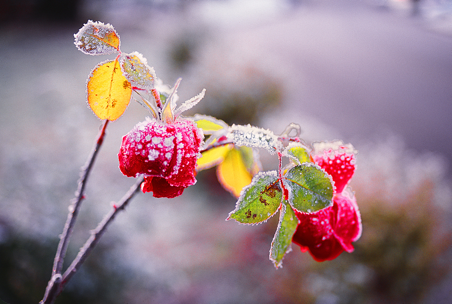 Garden Rose and Hoar Frost. | LENS MODEL NOT SET <br> Click image for more details, Click <b>X</b> on top right of image to close