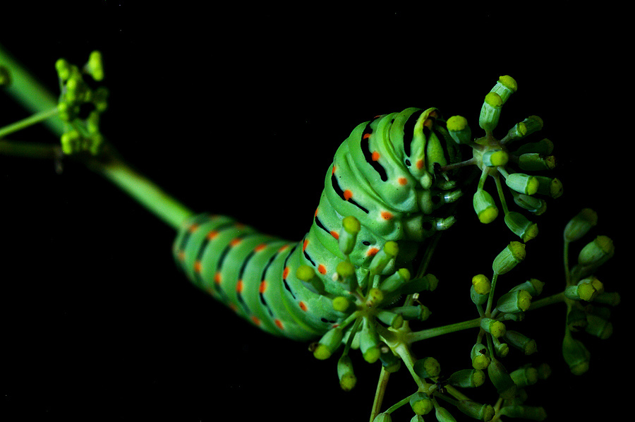 Papilio Machaon Caterpillar | LENS MODEL NOT SET <br> Click image for more details, Click <b>X</b> on top right of image to close