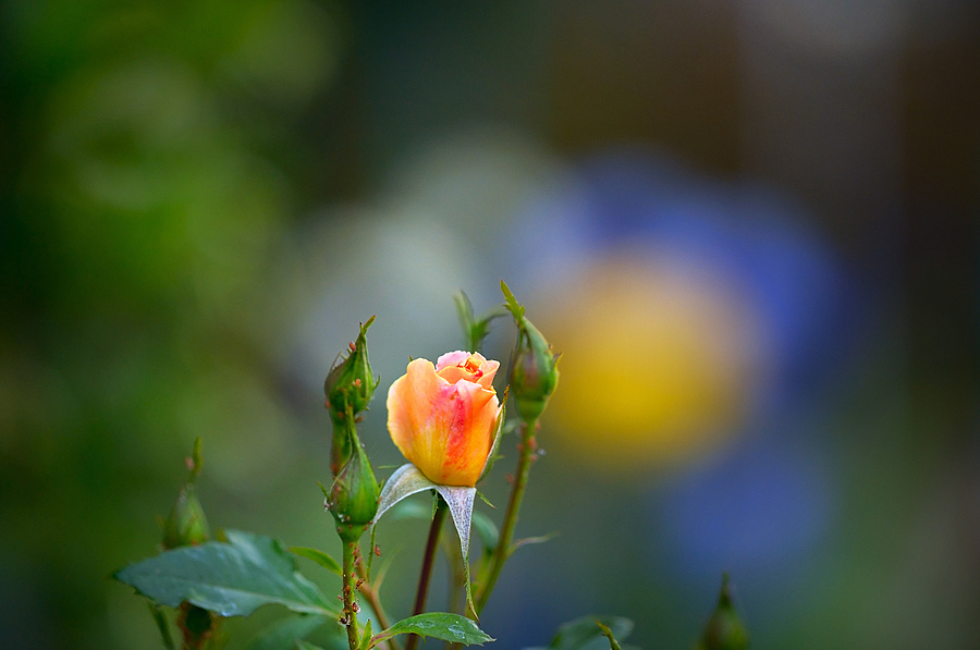 Spring Rose | ZEISS APO SONNAR F2 135MM <br> Click image for more details, Click <b>X</b> on top right of image to close