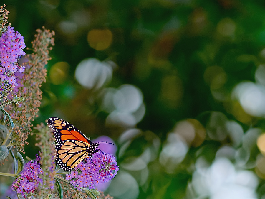 Monarch Butterfly | ZEISS APO SONNAR F2 135MM <br> Click image for more details, Click <b>X</b> on top right of image to close