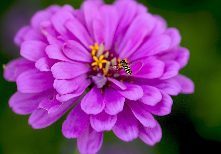 Flower and bee | ZEISS APO SONNAR F2 135MM <br> Click image for more details, Click <b>X</b> on top right of image to close