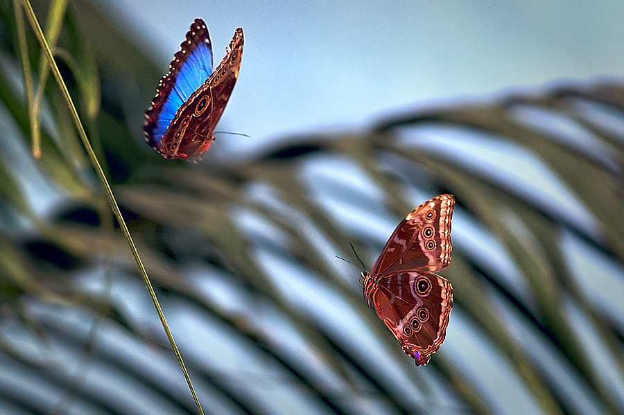 RBFresno Butterfly Pair | ZEISS APO SONNAR F2 135MM <br> Click image for more details, Click <b>X</b> on top right of image to close