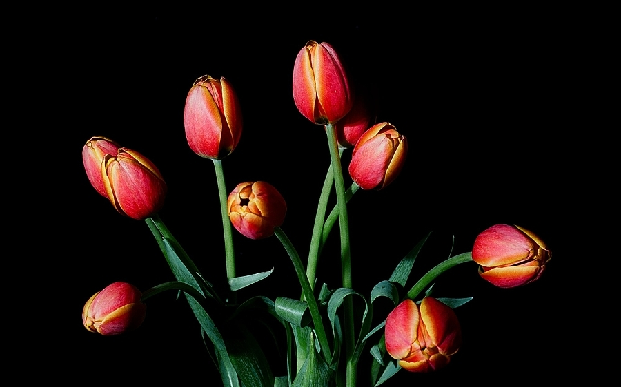 Tulips | ZEISS PLANAR F1.4 50MM <br> Click image for more details, Click <b>X</b> on top right of image to close